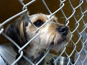 Photograph of a dog poking its nose through a chain linked fence.